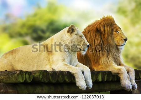 Lion and Lioness resting - stock photo