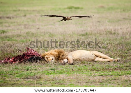 Lion and vulture with a prey,shallow doff, cloudy day - stock photo