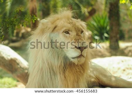 Lion Animal. - stock photo