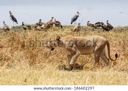 Lion at Okavango Delta - Moremi National Park in Botswana - stock photo