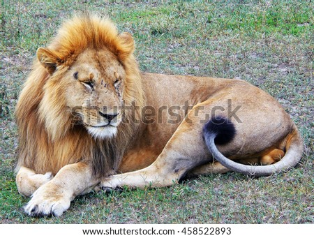 Lion by Tanzania Serengeti National Park  - stock photo