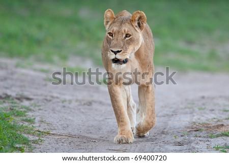 Lion, Chobe National Park, Botswana - stock photo