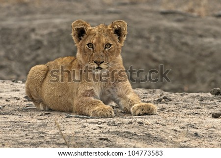 Lion Cub - stock photo
