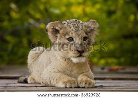 Lion Cub - stock photo