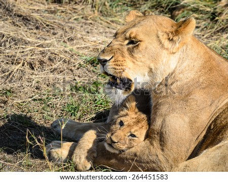 Lion cub and mother - stock photo