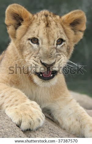 Lion cub growling, lying in the sun - stock photo