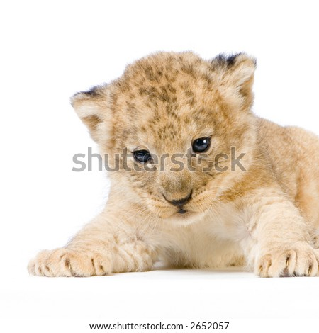 Lion Cub lying down in front of a white background. All my pictures are taken in a photo studio. - stock photo