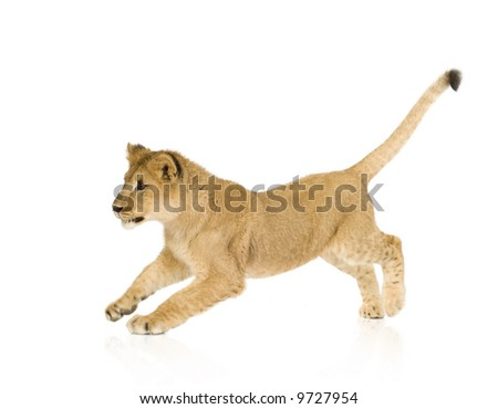 Lion Cub (6 months) in front of a white background - stock photo