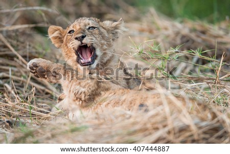 Lion cub resting on the grass. The lion (Panthera leo) - stock photo