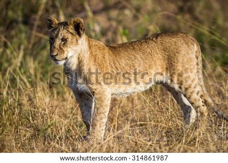 Lion cub roaming around the Serengeti National Park, Tanzania, Africa - stock photo