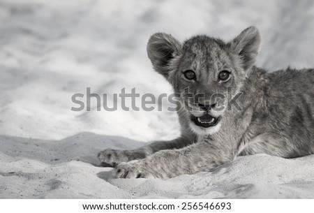 Lion Cub Siesta Stare desaturated - stock photo