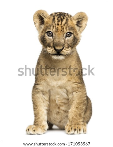 Lion cub sitting, looking at the camera, 7 weeks old, isolated on white - stock photo