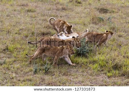 Lion cubs at play, Masai Mara Reserve, Kenya - stock photo