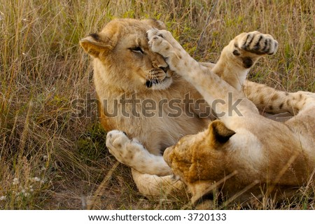 Lion cubs fighting - stock photo
