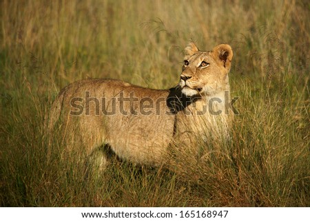 Lion cubs in grass - stock photo