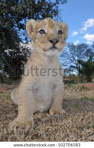 Lion cubs in South Africa - stock photo