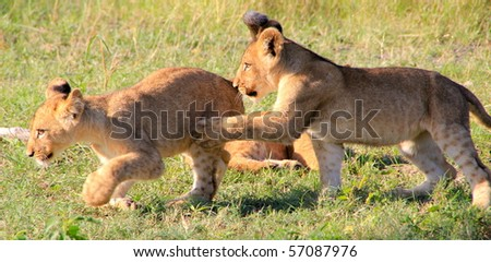 Lion cubs running and wrestling  Botswana, Africa - stock photo