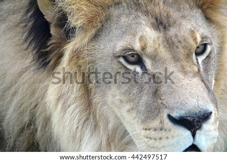 lion face with a fluffy mane closeup - stock photo