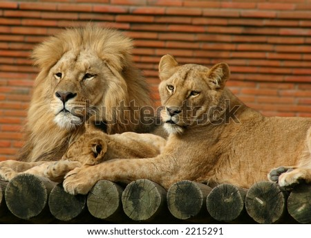 Lion Family - stock photo