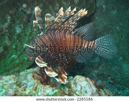 Lion fish, Pterois volitans - stock photo