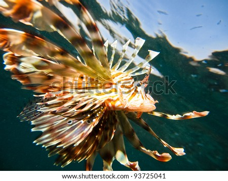 Lion fish Pterois volitans in Red sea - stock photo