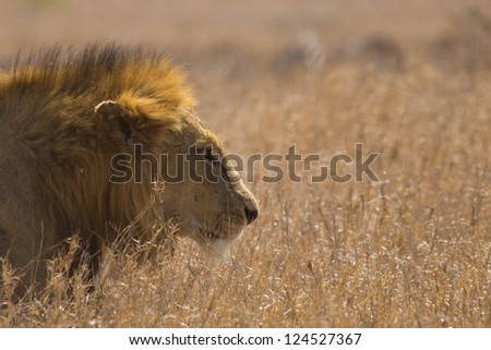 Lion Focused - stock photo