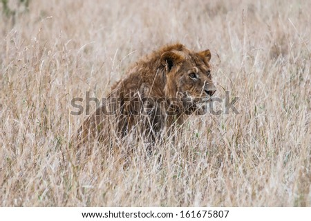 Lion hides in the high grass preparing to attack during the hunting - stock photo