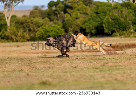Lion hunting a Buffalo in Masai Mara, Kenya - stock photo