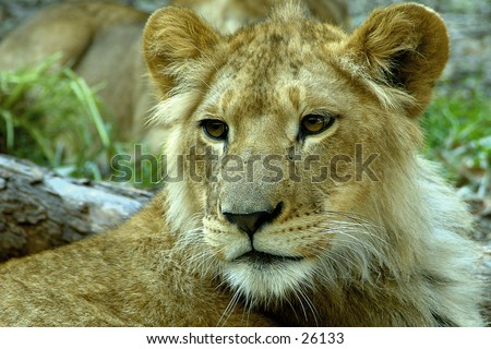 Lion in Australia - stock photo