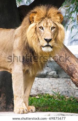 Lion in Chaingmai zoo Thailand - stock photo