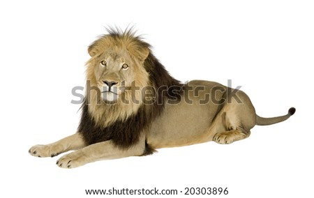 lion in front of a white background - stock photo