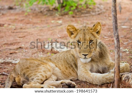 Lion in Tanzania - stock photo