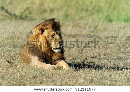 Lion in the grass of National park Masai Mara, Kenya - stock photo