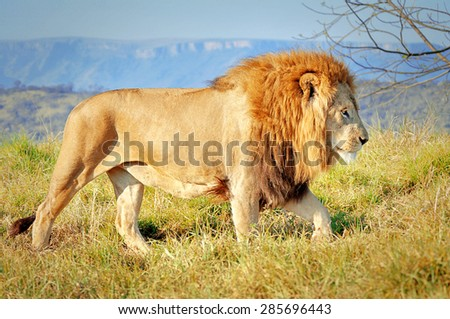 Lion in the Lion Park, Kwazulu Natal, South Africa - stock photo