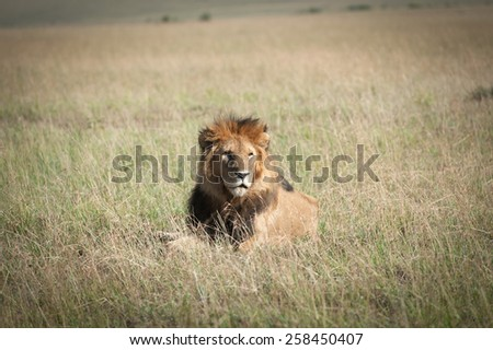 Lion in the savanna of Africa  - stock photo