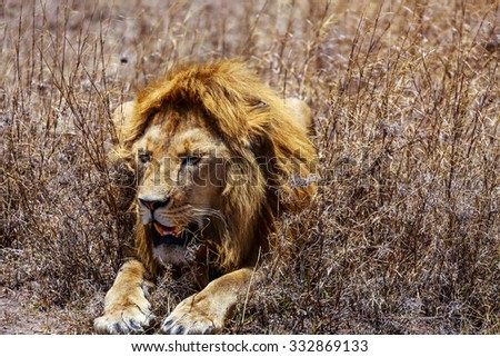 Lion in the Serengeti - stock photo