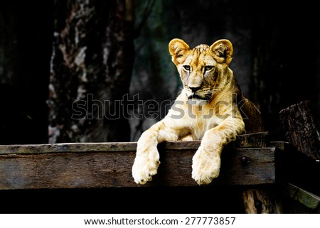 Lion in zoo ,thailand - stock photo