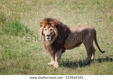 Lion is on the field with grass - stock photo