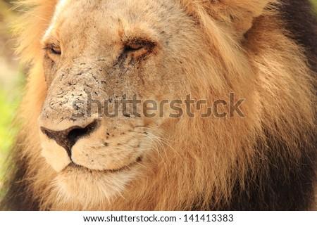 lion king of the jungle carnivorous mammal predator African savannas kruger national park south africa - stock photo
