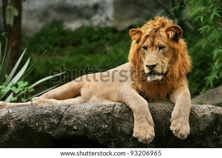 Lion laying on a rock. - stock photo
