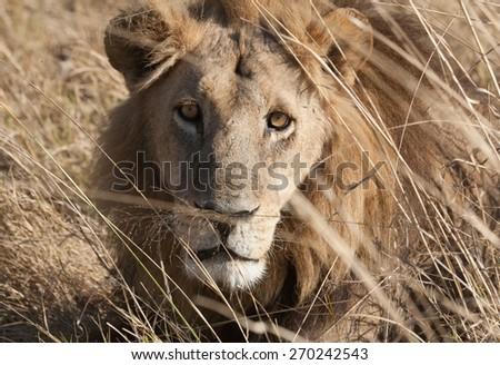 Lion lining in the bush ,Chobe National park, Botswana - stock photo