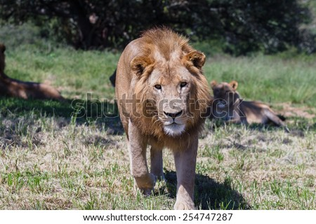 Lion Lions wildlife cats in park reserve - stock photo