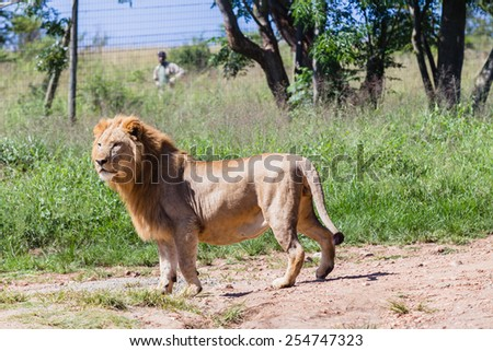 Lion Lions wildlife cats predator hunters and dangerous in park reserve - stock photo