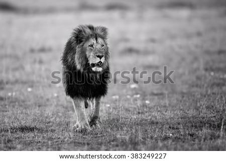 Lion Lipstick of Rekero Pride walking in Masai Mara, Kenya - stock photo