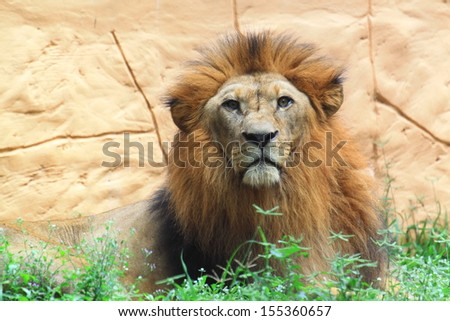 Lion looking - stock photo
