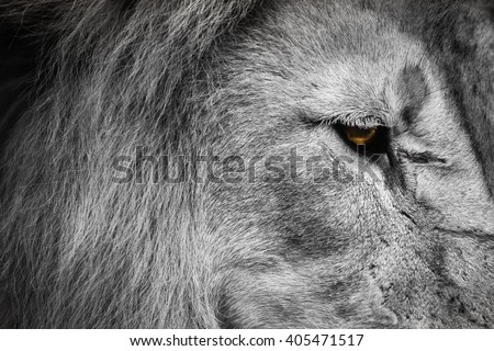 Lion Looking Down - stock photo
