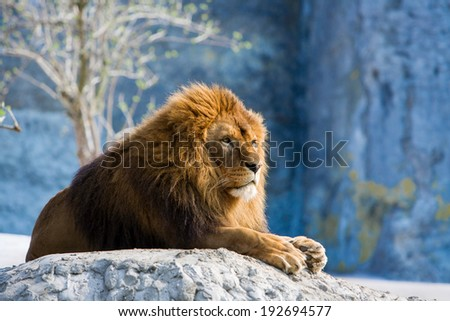 lion lying at the rock - stock photo