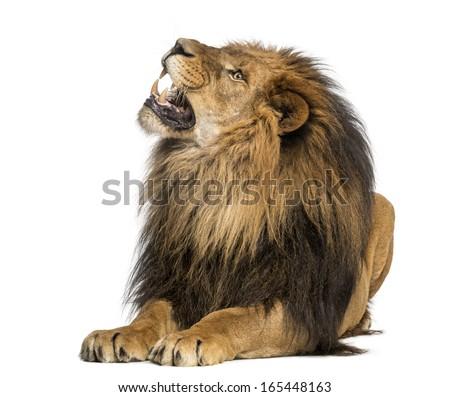 Lion lying, roaring, Panthera Leo, 10 years old, isolated on white - stock photo