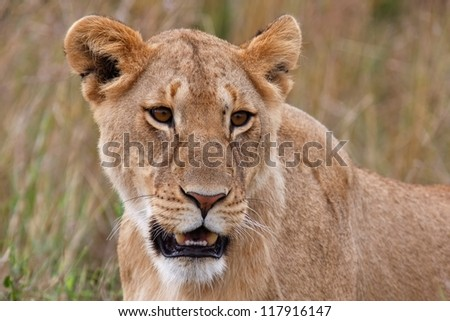 Lion male in national park African in Kenya - stock photo
