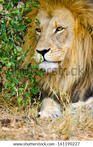 Lion, Male. Kruger National Park, South Africa - stock photo